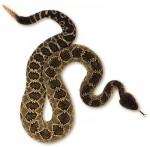 serpiente_cascabel