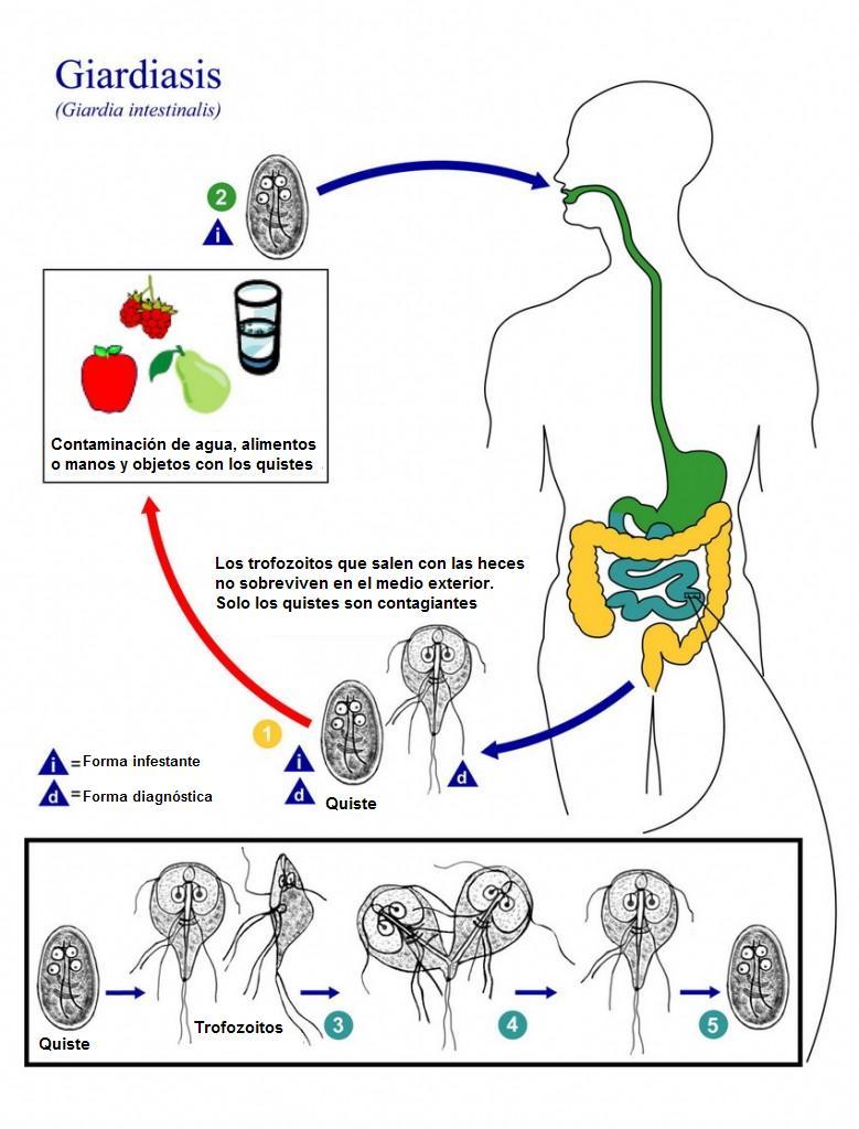 A giardiasis étrend a felnőttek körében - A testen Giardiasis édes